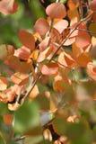 Rote orange Aspen-Blätter 1 stockbilder