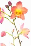 Rote orange philippinische Grundorchideen Lizenzfreie Stockfotografie