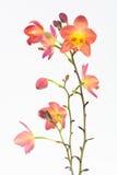 Rote orange philippinische Grundorchideen Lizenzfreie Stockbilder
