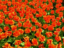 Rote/orange Tulpen in Keukenhof Lizenzfreie Stockbilder