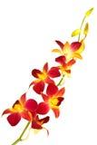 Rote Orchidee Lizenzfreie Stockbilder