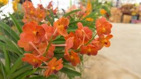 Rote Orchidee Lizenzfreie Stockfotografie