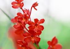 Rote Orchidee im Abschluss herauf Naturhintergrund Stockbilder