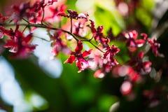 Rote Orchideeblume Lizenzfreie Stockbilder