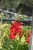 Rote Orchideen Lizenzfreie Stockfotografie