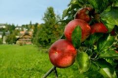 Rote organische Äpfel Lizenzfreie Stockfotos