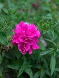 Rote Paeonia officinalis, gemeine Pfingstrose, Gartenpfingstrose lizenzfreies stockfoto