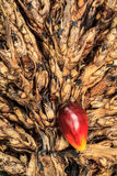 Rote Palme der Palme auf dem Pfeiler Stockbilder