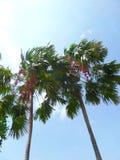 Rote Palme und blauer Himmel stockfotos