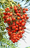 Rote Palmenfrucht stockfoto