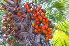 Rote Palmenfrucht Stockbild