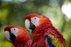 Rote Papageien Stockbild