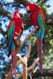 Rote Papageien der Paare in der Liebe Stockfotografie
