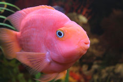 Rote Papageienfische Lizenzfreie Stockfotos