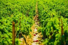 Rote Paprika Field Lizenzfreies Stockfoto