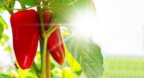 Rote Paprikareifen im Garten Lizenzfreies Stockbild