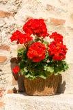 Rote Pelargonie Stockbilder
