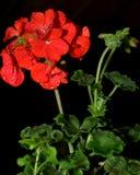 Rote Pelargonie Lizenzfreie Stockfotos