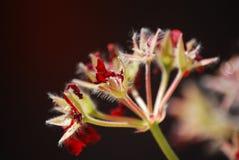 Rote Pelargonie, die im Sommer blüht lizenzfreie stockbilder