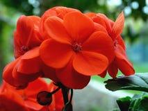 Rote Pelargonie mit undeutlichem Bacjground lizenzfreie stockfotos