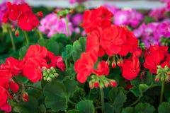 Rote Pelargonie, Pelargonienhintergrund Selektiver Fokus stockbild