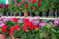 Rote Pelargonie, Pelargonienhintergrund Vasen Blumen in den Gewächshäusern stockfotografie
