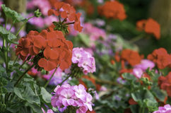 Rote Pelargonieblumen Stockfotografie