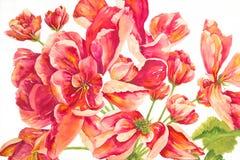Rote Pelargonien Stockbilder