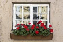 Rote Pelargonien stockfotografie