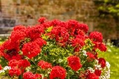 Rote Pelargonien stockfoto