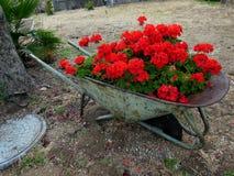 Rote Pelargonien in einem Rad-Fass stockbild