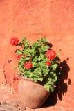Rote Pelargonien in einem Topf lizenzfreies stockbild