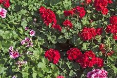 Rote Pelargonien lizenzfreie stockfotografie