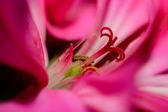 Rote Pelargonienblume Stockfotos