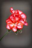 Rote Pelargonienblume Lizenzfreie Stockfotografie