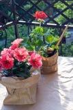 Rote Pelargonienblume und Rosa und purpurrote Petunienblumen auf dem Balkon in der Gl?ttungssonne lizenzfreie stockbilder