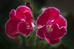 Rote Pelargonienzone, Blumenbl?tter mit einer wei?en Grenze auf einem dunklen Hintergrund stockfotografie