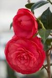 Rote peonia Blume in der Blüte Lizenzfreie Stockfotos