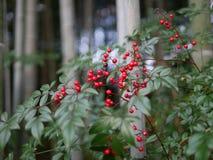 Rote Perle im Bambuswald Lizenzfreies Stockbild