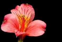 Rote peruanische Lilie Lizenzfreie Stockfotos