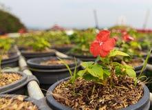 Rote Petunienblumen Lizenzfreies Stockfoto