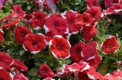 Rote Petunienblumen, Abschluss herauf Ansicht, selektiver Fokus Stockfotos