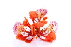 Rote Pfau Blume auf dem weißen Hintergrund Stockfoto