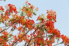 Rote Pfau-Blume, die im Naturhintergrund blüht (Caesalpinia-PU Stockbilder