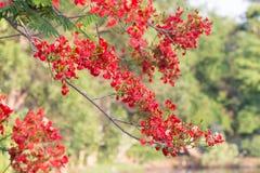 Rote Pfau-Blume, die im Naturhintergrund blüht (Caesalpinia-PU Stockfotos