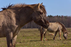 Rote Pferde Lizenzfreies Stockbild
