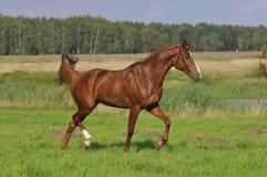 Rote Pferden-Trab auf der Wiese Lizenzfreies Stockfoto