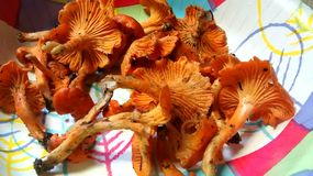 Rote Pfifferlings-Pilze stockbild