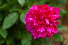 Rote Pfingstrosenblume im Garten stockfotos