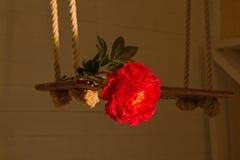 Rote Pfingstrosenblume liegt auf einem Schwingen Lizenzfreie Stockfotos